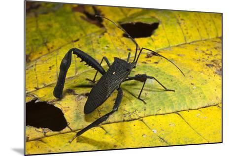 Leaf-Footed Bug, Yasuni NP, Amazon Rainforest, Ecuador-Pete Oxford-Mounted Photographic Print