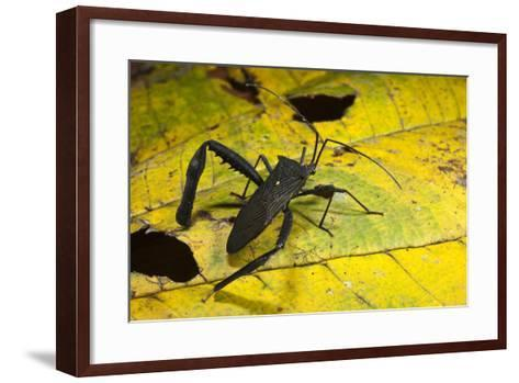 Leaf-Footed Bug, Yasuni NP, Amazon Rainforest, Ecuador-Pete Oxford-Framed Art Print