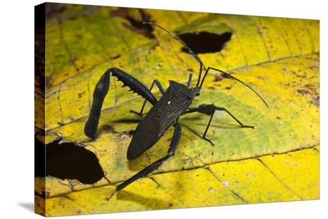 Leaf-Footed Bug, Yasuni NP, Amazon Rainforest, Ecuador-Pete Oxford-Stretched Canvas Print