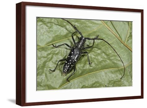 Long-Horned Beetle, Yasuni NP, Amazon Rainforest, Ecuador-Pete Oxford-Framed Art Print
