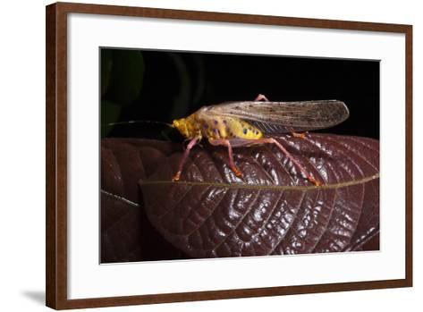 Multicolored Katydid, Yasuni NP, Amazon Rainforest, Ecuador-Pete Oxford-Framed Art Print