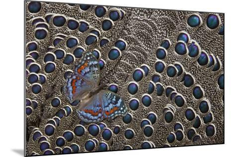 African Gaudy Commodore Butterfly on Grey Peacock Pheasant Feathers-Darrell Gulin-Mounted Photographic Print