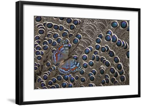 African Gaudy Commodore Butterfly on Grey Peacock Pheasant Feathers-Darrell Gulin-Framed Art Print
