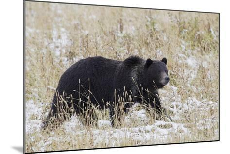 Grizzly Bear, Autumn Snow-Ken Archer-Mounted Photographic Print