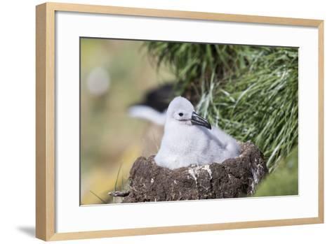 Black-Browed Albatross Chick on Tower Shaped Nest. Falkland Islands-Martin Zwick-Framed Art Print