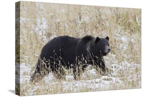 Grizzly Bear, Autumn Snow-Ken Archer-Stretched Canvas Print