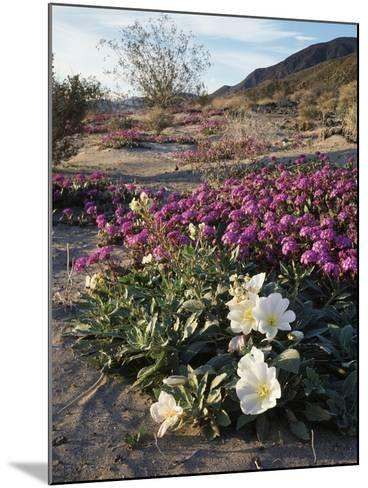 California, Anza Borrego Desert State Park, Desert Wildflowers-Christopher Talbot Frank-Mounted Photographic Print