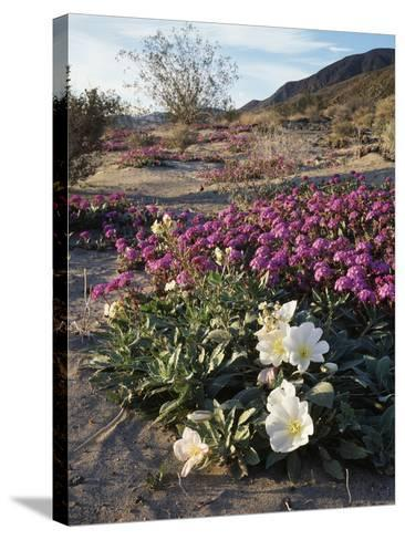 California, Anza Borrego Desert State Park, Desert Wildflowers-Christopher Talbot Frank-Stretched Canvas Print