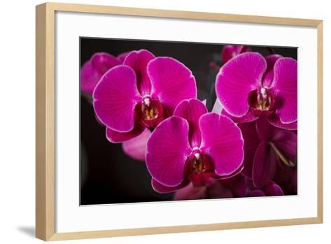 USA, Oregon, Keizer, Hybrid Orchid-Rick A Brown-Framed Art Print