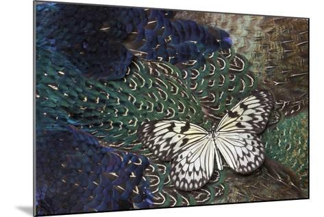 Paper Kite Butterfly on Breast Feathers of Ring-Necked Pheasant Design-Darrell Gulin-Mounted Photographic Print