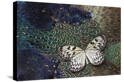 Paper Kite Butterfly on Breast Feathers of Ring-Necked Pheasant Design-Darrell Gulin-Stretched Canvas Print