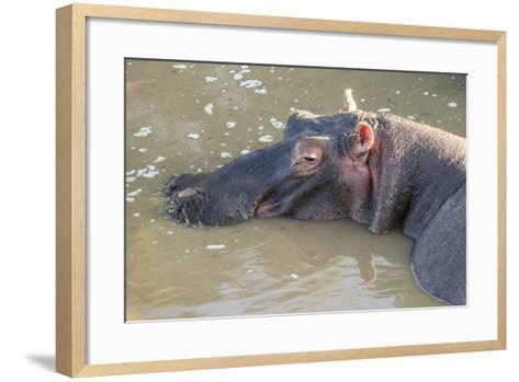 Kenya, Maasai Mara, Mara Triangle, Hippopotamus in Mara River-Alison Jones-Framed Art Print