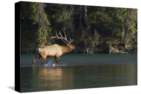 Rocky Mountain Bull Elk Bugling-Ken Archer-Stretched Canvas Print