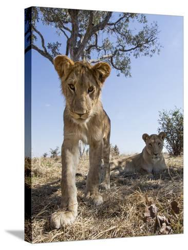 Botswana, Chobe NP, Lion Cub Approaching Remote Camera in Savuti Marsh-Paul Souders-Stretched Canvas Print
