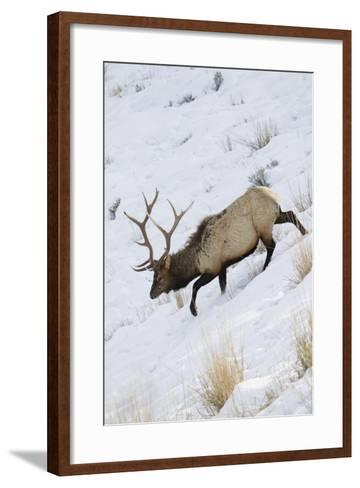 Rocky Mountain Bull Elk, Winter-Ken Archer-Framed Art Print