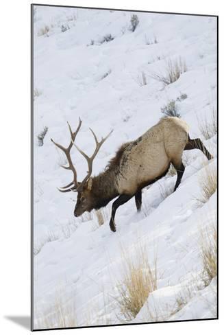 Rocky Mountain Bull Elk, Winter-Ken Archer-Mounted Photographic Print