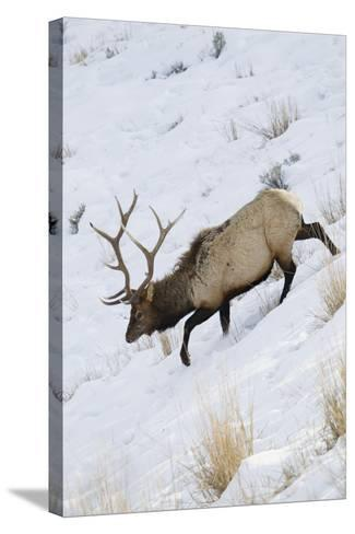 Rocky Mountain Bull Elk, Winter-Ken Archer-Stretched Canvas Print