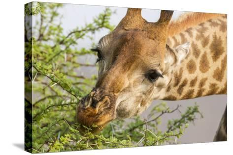 South Londolozi Reserve. Close-up of Giraffe Feeding on Acacia Leaves-Fred Lord-Stretched Canvas Print