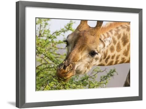South Londolozi Reserve. Close-up of Giraffe Feeding on Acacia Leaves-Fred Lord-Framed Art Print