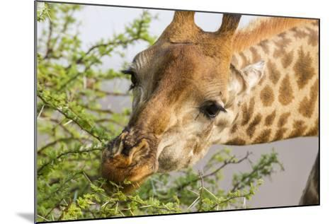 South Londolozi Reserve. Close-up of Giraffe Feeding on Acacia Leaves-Fred Lord-Mounted Photographic Print
