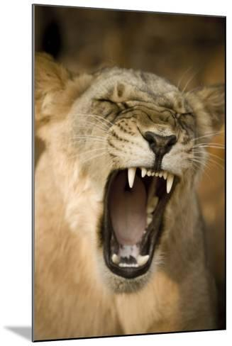 Livingstone, Zambia, Africa. Lioness Calling Out-Janet Muir-Mounted Photographic Print