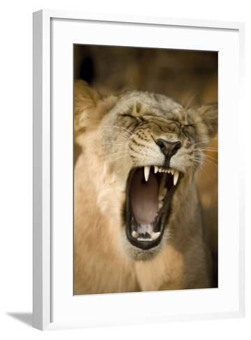 Livingstone, Zambia, Africa. Lioness Calling Out-Janet Muir-Framed Art Print
