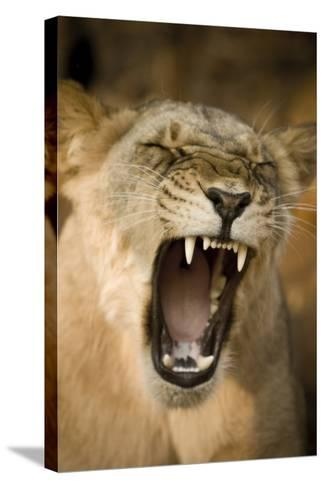Livingstone, Zambia, Africa. Lioness Calling Out-Janet Muir-Stretched Canvas Print