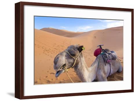 Morocco, Sahara Desert Sand Dunes Close Up of Camel for Rides-Bill Bachmann-Framed Art Print