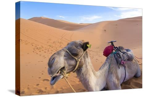 Morocco, Sahara Desert Sand Dunes Close Up of Camel for Rides-Bill Bachmann-Stretched Canvas Print