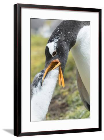 Gentoo Penguin Chick Being Fed by Parent on the Falkland Islands-Martin Zwick-Framed Art Print