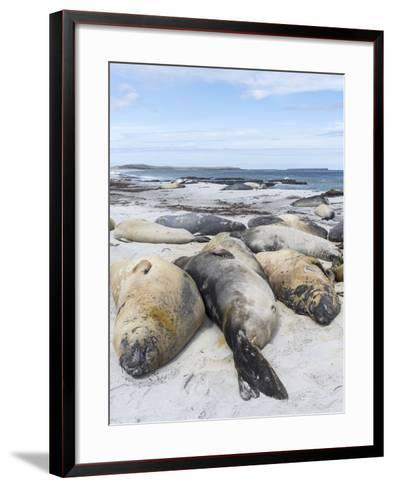 Southern Elephant Seal Males on Sandy Beach, Falkland Islands-Martin Zwick-Framed Art Print