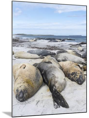 Southern Elephant Seal Males on Sandy Beach, Falkland Islands-Martin Zwick-Mounted Photographic Print