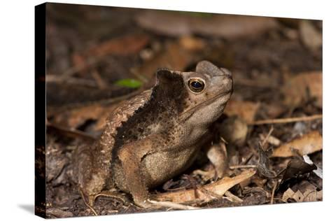 South American Crested Toad, Yasuni NP, Amazon Rainforest, Ecuador-Pete Oxford-Stretched Canvas Print
