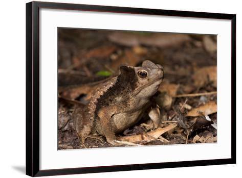 South American Crested Toad, Yasuni NP, Amazon Rainforest, Ecuador-Pete Oxford-Framed Art Print