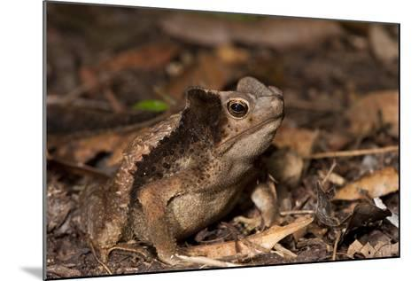 South American Crested Toad, Yasuni NP, Amazon Rainforest, Ecuador-Pete Oxford-Mounted Photographic Print