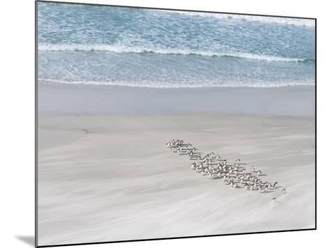Rockhopper Penguin Landing as a Group, Crossing the Wet Beach-Martin Zwick-Mounted Photographic Print