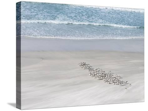 Rockhopper Penguin Landing as a Group, Crossing the Wet Beach-Martin Zwick-Stretched Canvas Print