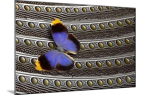 Owl Butterfly on Argus Wing Feathers-Darrell Gulin-Mounted Photographic Print