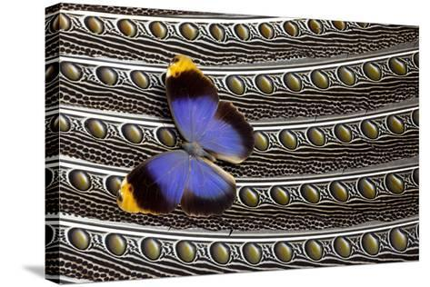Owl Butterfly on Argus Wing Feathers-Darrell Gulin-Stretched Canvas Print
