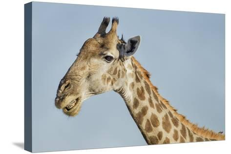 Botswana, Moremi Reserve, Giraffe Baring Teeth in Imitation of a Grin-Paul Souders-Stretched Canvas Print