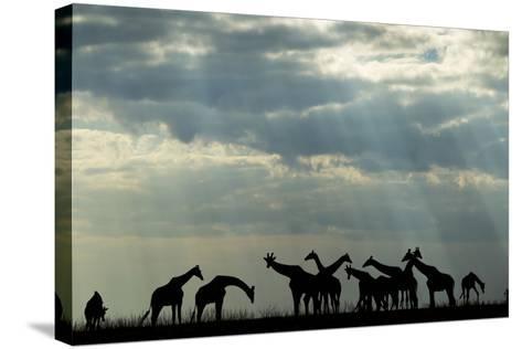 Botswana, Chobe NP, Herd of Giraffes Feeding Along Chobe River's Banks-Paul Souders-Stretched Canvas Print