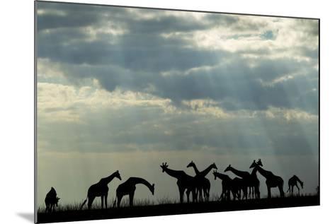 Botswana, Chobe NP, Herd of Giraffes Feeding Along Chobe River's Banks-Paul Souders-Mounted Photographic Print