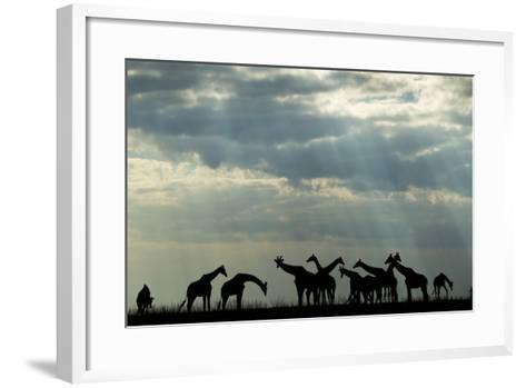 Botswana, Chobe NP, Herd of Giraffes Feeding Along Chobe River's Banks-Paul Souders-Framed Art Print