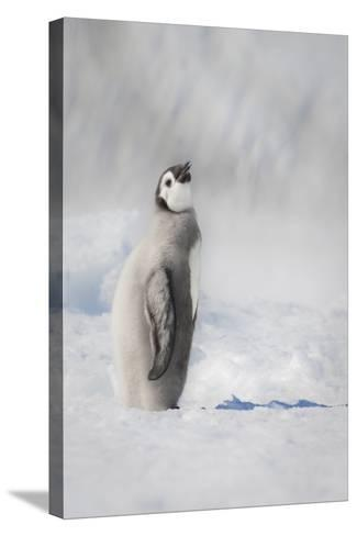 Cape Washington, Antarctica. an Emperor Penguin Chick-Janet Muir-Stretched Canvas Print