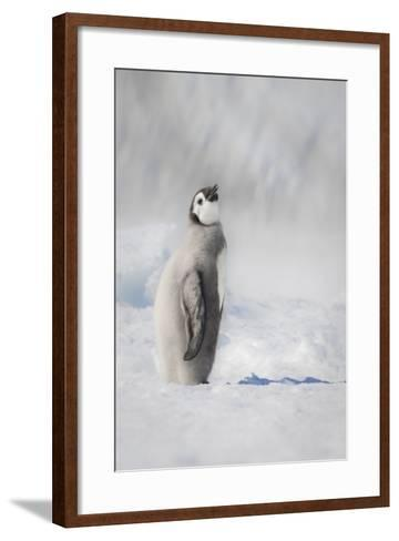 Cape Washington, Antarctica. an Emperor Penguin Chick-Janet Muir-Framed Art Print