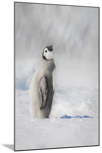 Cape Washington, Antarctica. an Emperor Penguin Chick-Janet Muir-Mounted Photographic Print