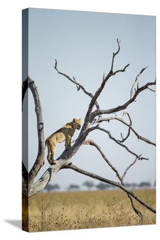 Botswana, Chobe NP, Lioness Climbing Acacia Tree in Savuti Marsh-Paul Souders-Stretched Canvas Print