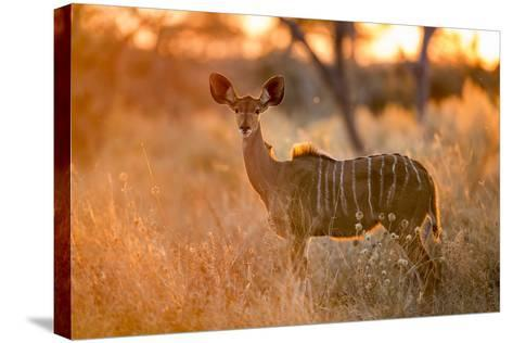 Botswana, Chobe NP, Greater Kudu Standing in Savuti Marsh at Sunrise-Paul Souders-Stretched Canvas Print