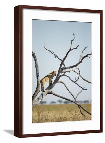 Botswana, Chobe NP, Lioness Climbing Acacia Tree in Savuti Marsh-Paul Souders-Framed Art Print