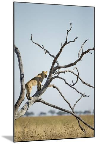 Botswana, Chobe NP, Lioness Climbing Acacia Tree in Savuti Marsh-Paul Souders-Mounted Photographic Print